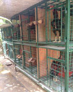 19 model kandang ayam bangkok kampung petelur potong 2021