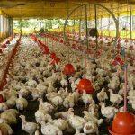 Kandang Ayam Potong