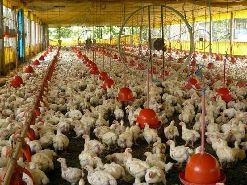 19 Model Kandang Ayam Bangkok Kampung Petelur Potong 2021 ...