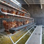 Model Kandang Ayam Petelur Boiler Pedaging