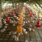 Model Kandang Ayam Potong Boiler Pedaging